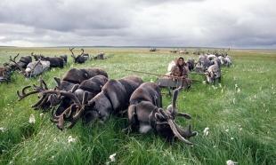 Renos en la Península de Yamal
