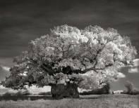ancient-trees-beth-moon-2